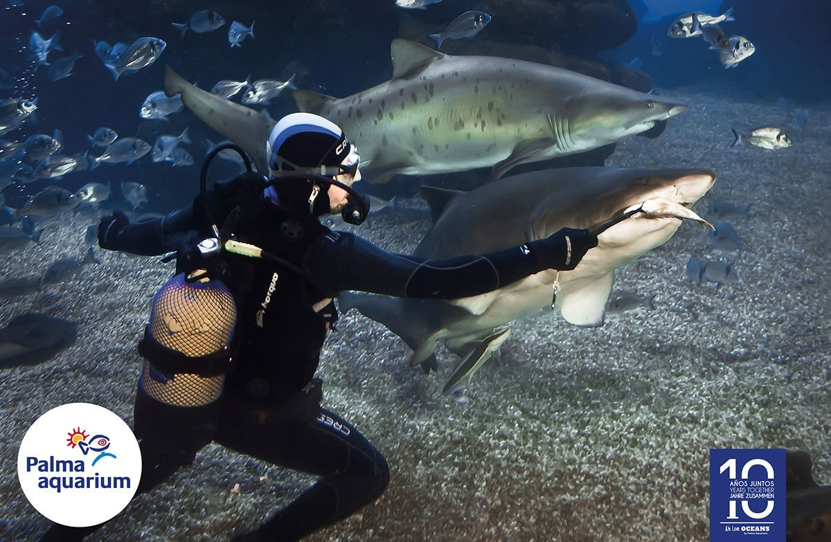 Feeding sharks in Palmaquarium